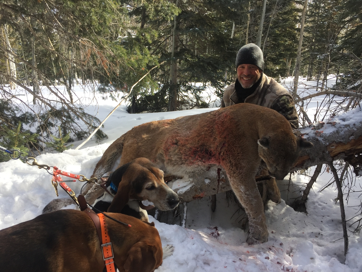 Mountain Lion Hunts Colorado
