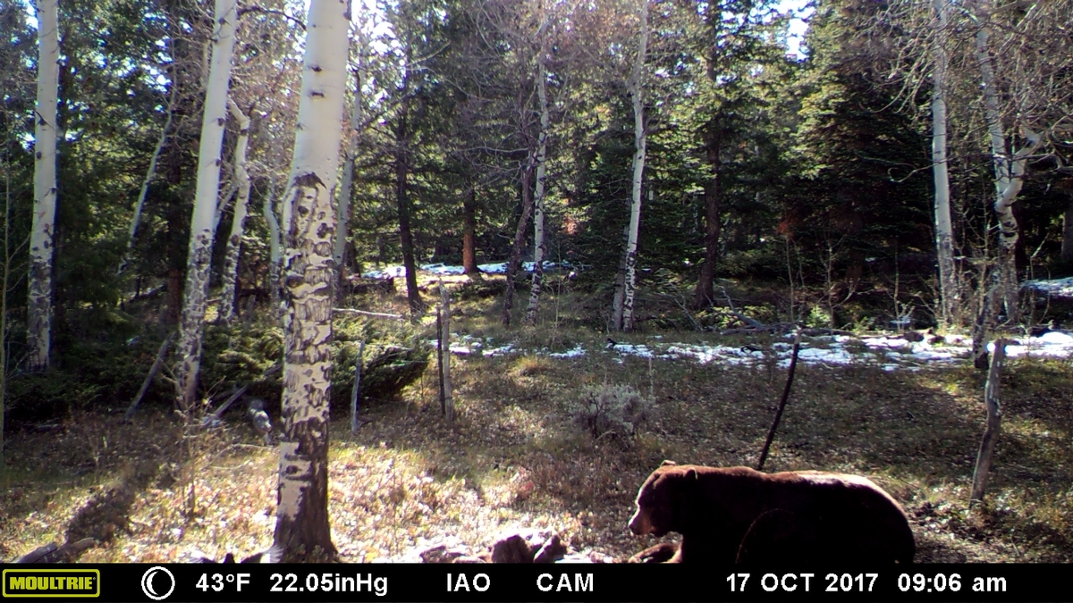 black bear hunting colorado